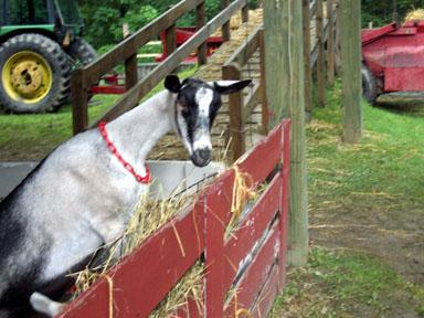 Goat in hay