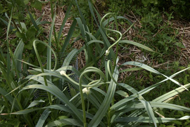 Garlic scapes growing.