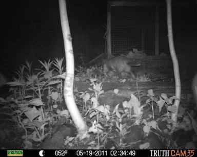 Possum exploring.