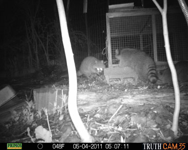 Raccoons trying to get in.